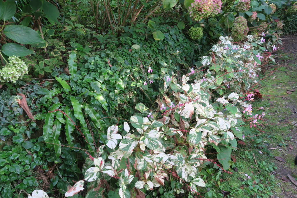 Giardino privato: un sentiero nel bosco illuminato da Persicaria 'Painter's palette'